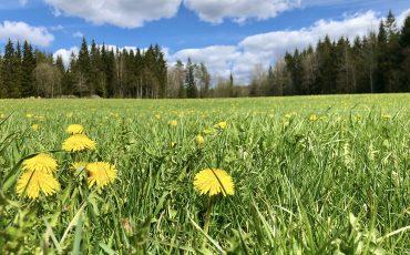 maskrosor på ett grönt fält