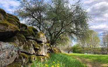 Stenmur och en ek